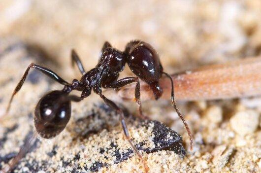 Nekviesti svečiai –skruzdėlės