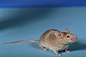 pelė, graužikas